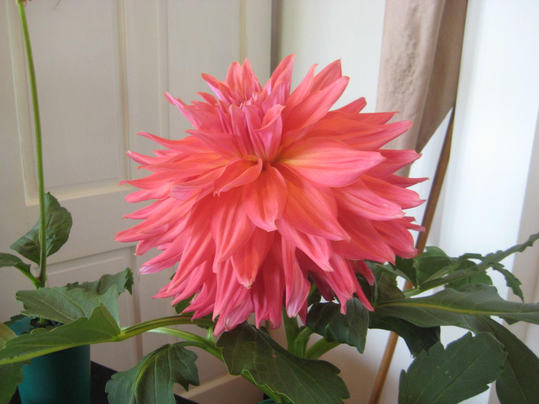 Hollyhill Big Pink