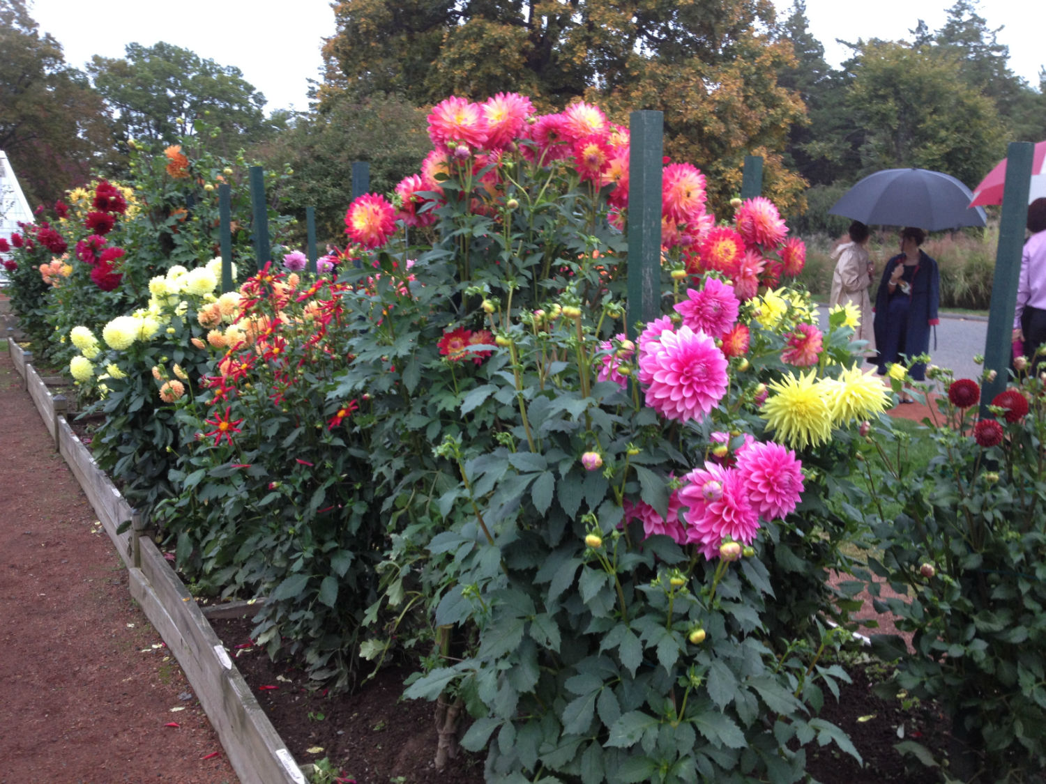 Broad View of Elizabeth Park Dahlia Garden