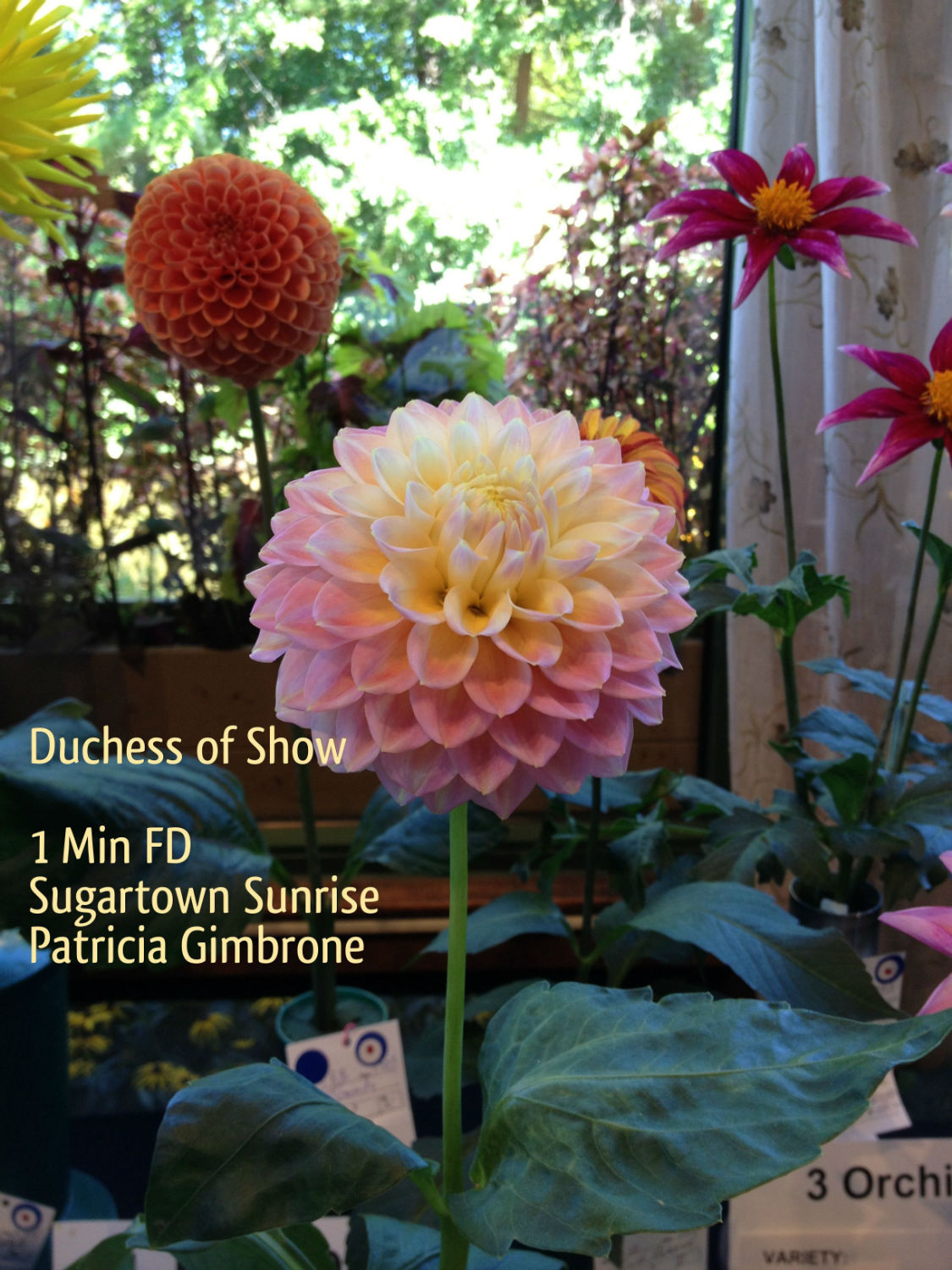 Duchess Sugartown Sunrise